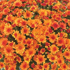Belgian Mum Urano Orange - Rooted Cutting Liner