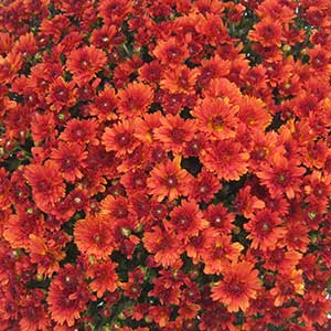 Image Of Belgian Mum Urano Red