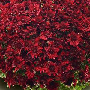 Belgian Mum Vega Red - Rooted Cutting Liner
