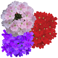 Image Of Verbena  Assorted