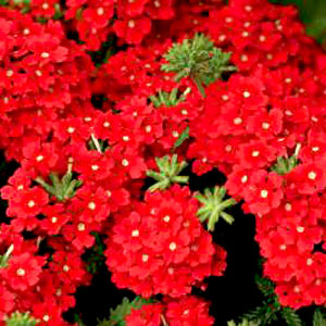 Verbena Estrella Vampire Red - Rooted Cutting Liner