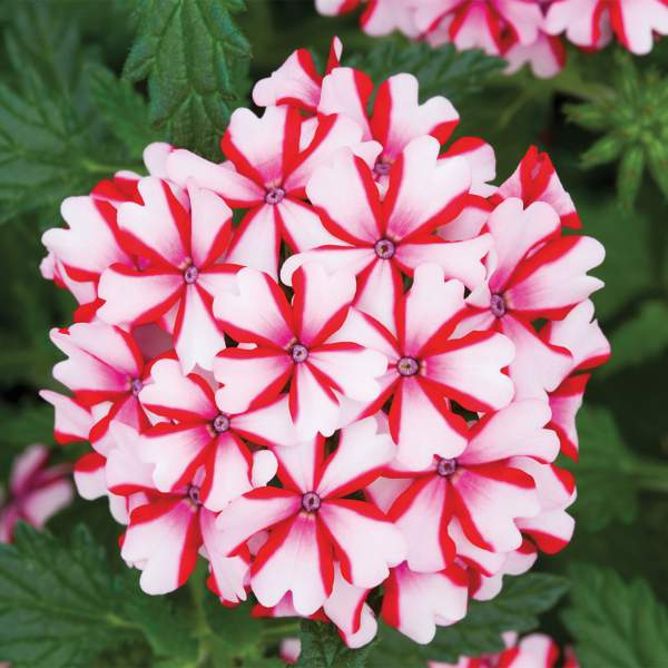 Verbena Lanai Candy Cane - Rooted Cutting Liner