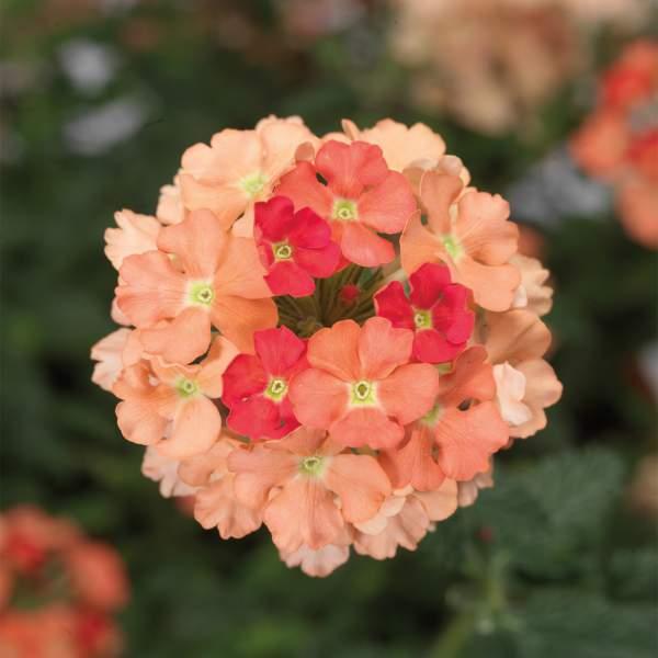 Image Of Verbena Lanai Peach