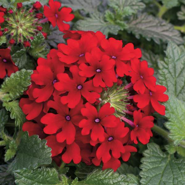 Verbena Lanai Red - Rooted Cutting Liner
