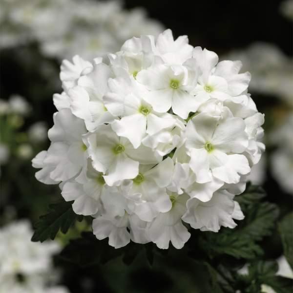 Image Of Verbena Lanai White