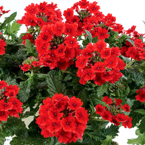 Image Of Verbena Vanessa Cascading Red
