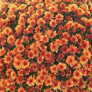 Belgian Mum Veritas Orange - Rooted Cutting Liner