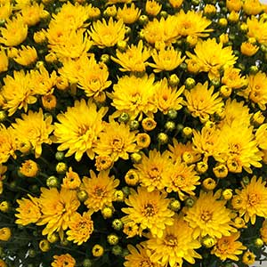 Belgian Mum Veritas Yellow