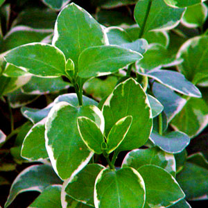Image Of Vinca Vine Variegated