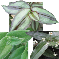 Image Of Wandering Jew Assorted