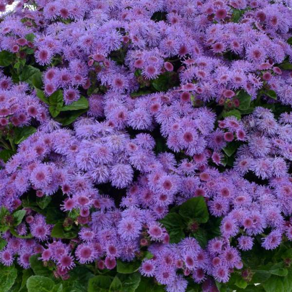 Ageratum Aguilera Purple - Rooted Cutting Liner