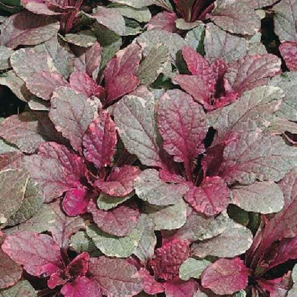 Ajuga Burgundy Glow - Rooted Cutting Liner