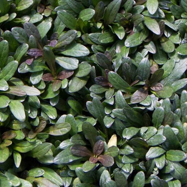 Image Of Ajuga Chocolate Chip