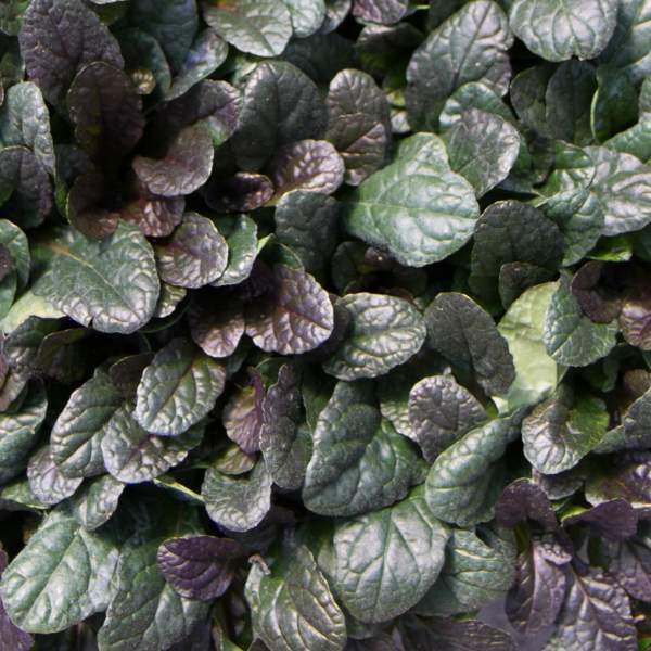 Ajuga Mahogany - Rooted Cutting Liner