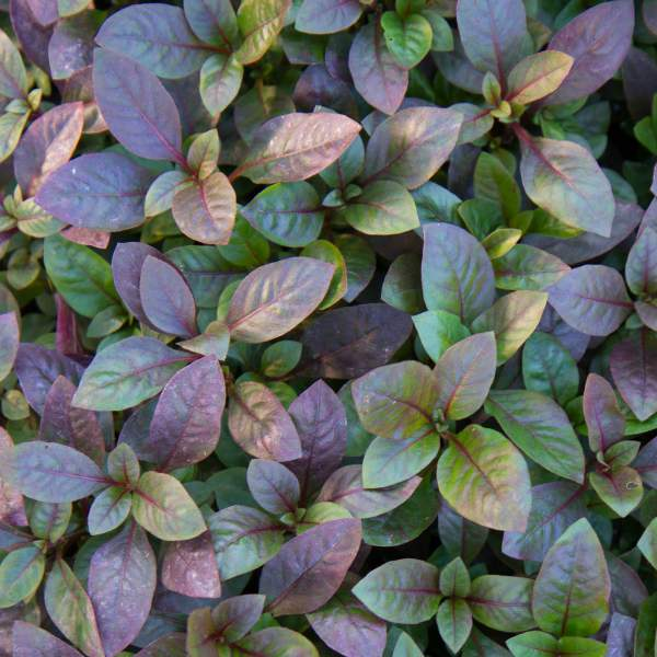 Alternanthera Bronze - Rooted Cutting Liner