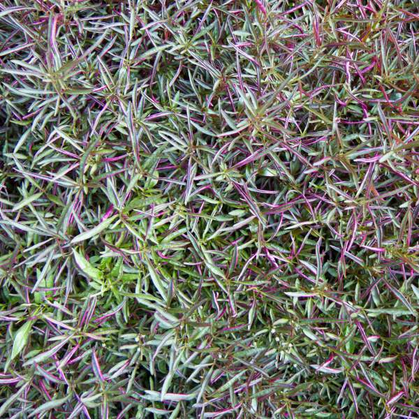 Image Of Alternanthera Burgundy Thread