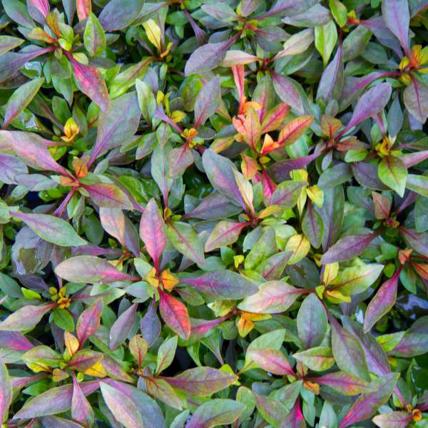 Alternanthera Red Carpet - Rooted Cutting Liner