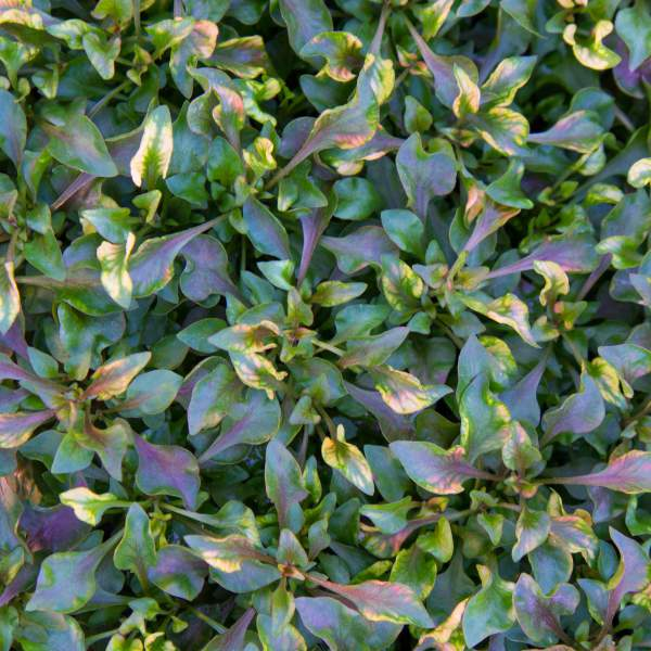 Alternanthera Red - Rooted Cutting Liner