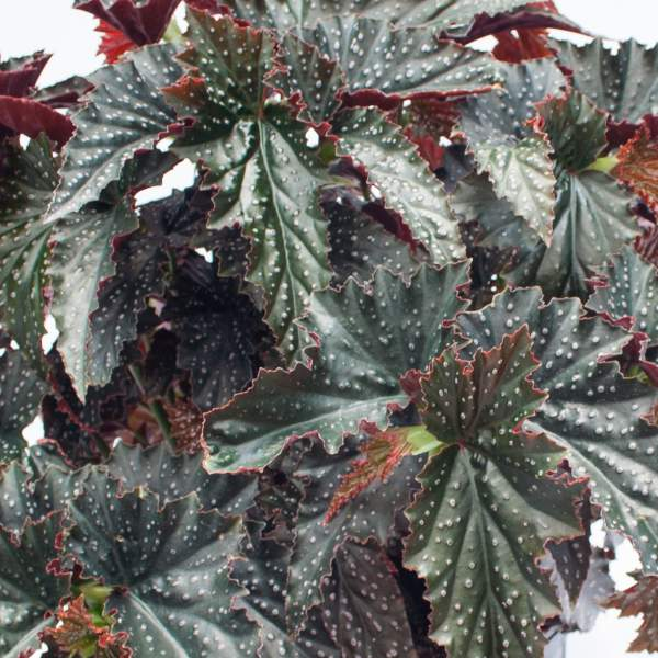 Angel Wing Begonia Fannie Moser   - Rooted Cutting Liner