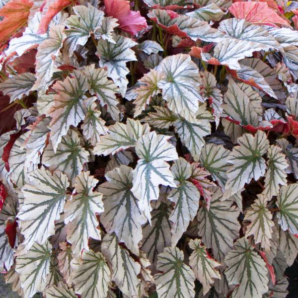 Image Of Angel Wing Begonia Looking Glass
