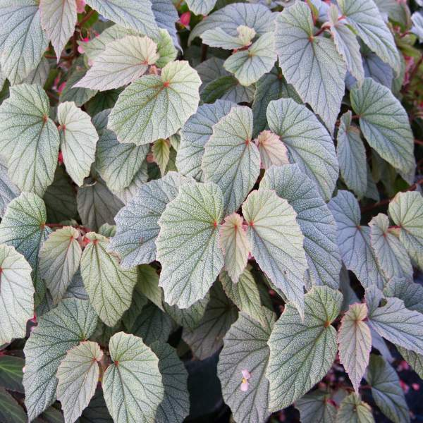 Angel Wing Begonia Sinbad Pink  - Rooted Cutting Liner