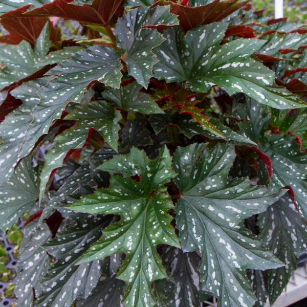 Angel Wing Begonia Sophia - Unrooted Cuttings