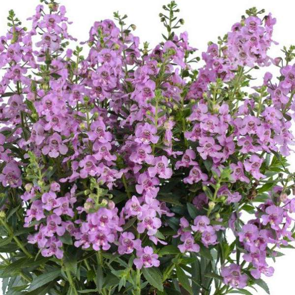 Image Of Angelonia Alonia Pink Flirt