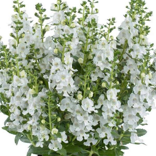 Angelonia Alonia Snow Ball - Rooted Cutting Liner