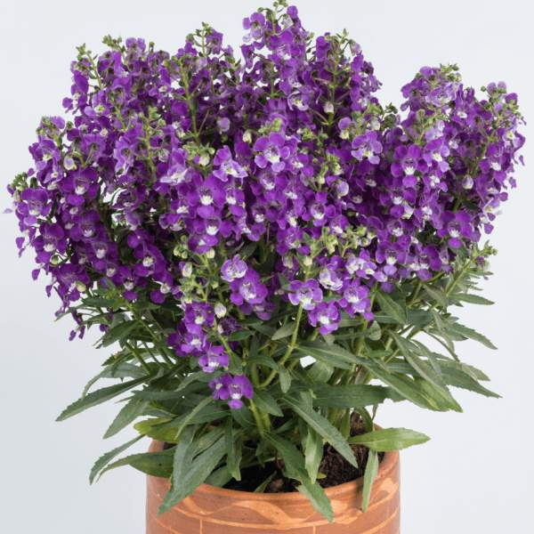 Angelonia Alonia Violet - Rooted Cutting Liner