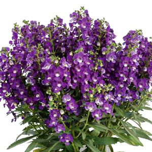 Angelonia Alonia Big Violet - Rooted Cutting Liner