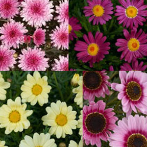 Argyranthemum Assorted - Rooted Cutting Liner