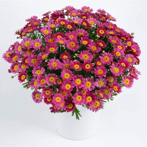 Argyranthemum Angelic Ruby - Rooted Cutting Liner
