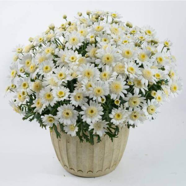 Image Of Argyranthemum Angelic Snow