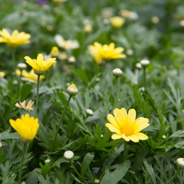 Image Of Argyranthemum Butterfly  Yellow