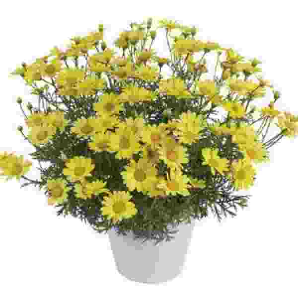 Argyranthemum Sunny Spring - Rooted Cutting Liner