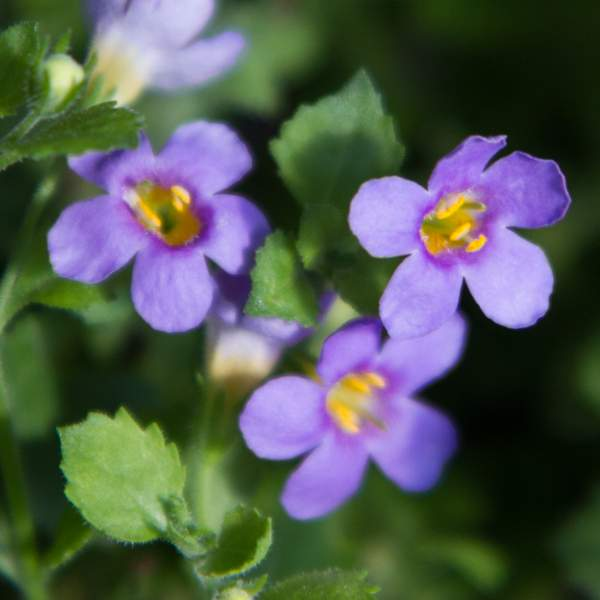 Image Of Bacopa Carolina Big Bloom Blue