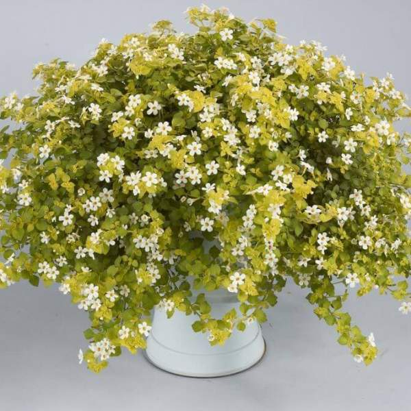 Bacopa Golden Leaves White - Rooted Cutting Liner