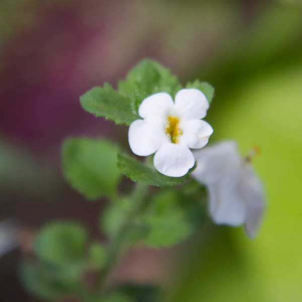 Image Of Bacopa Trailing White
