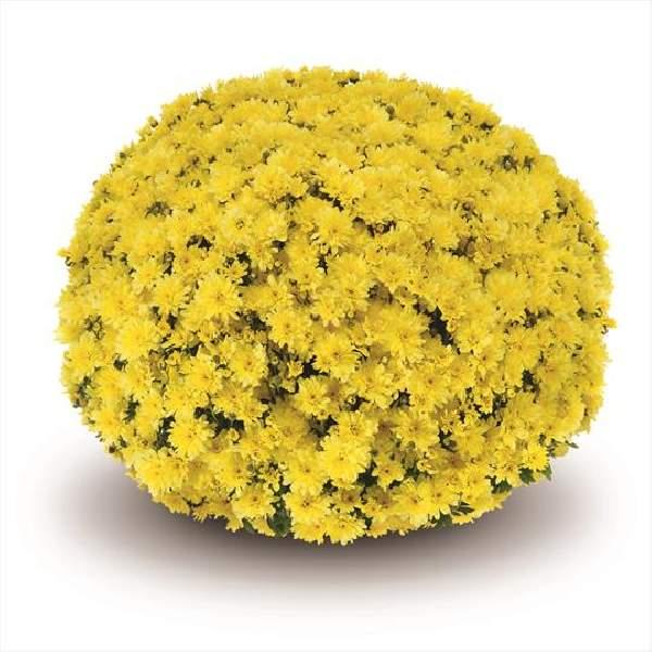 Belgian Mum Arluno Yellow