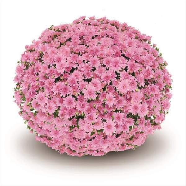 Image Of Belgian Mum Fonti Pink
