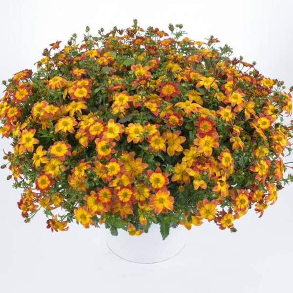 Bidens Blazing Fire - Rooted Cutting Liner