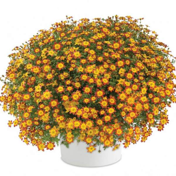 Image Of Bidens Blazing Glory