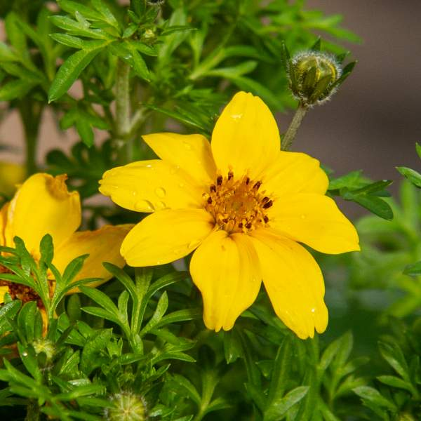Image Of Bidens Compact Yellow