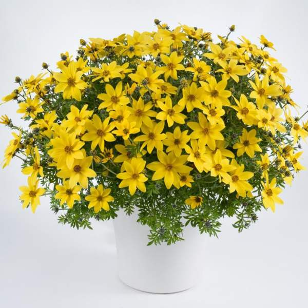 Bidens Mega Charm - Rooted Cutting Liner