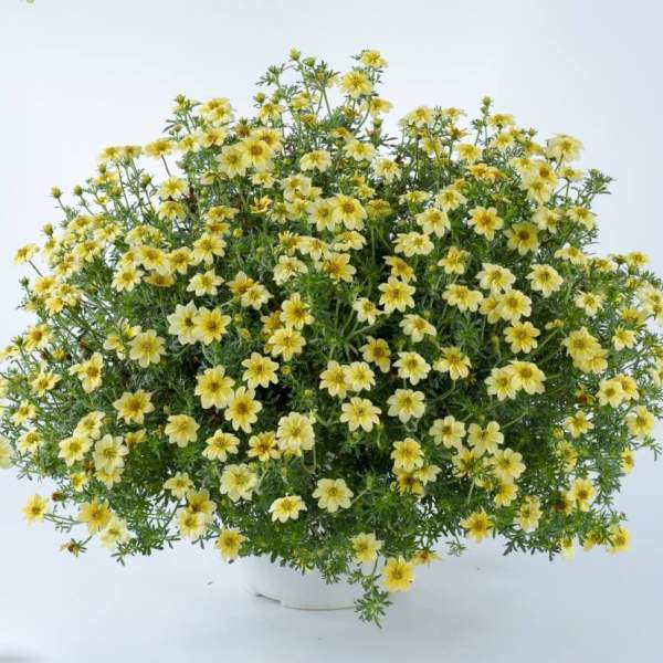 Bidens Yellow Dune - Rooted Cutting Liner