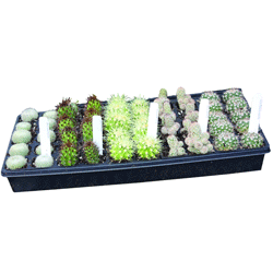 Image Of Premium Cactus Assortment