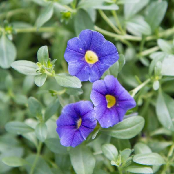 Calibrachoa Blue - Unrooted Cuttings
