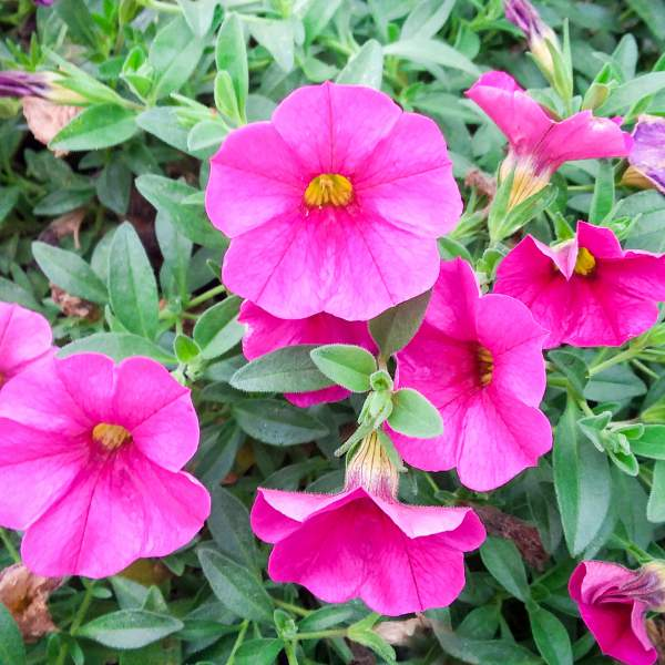Calibrachoa Bright Pink - Rooted Cutting Liner