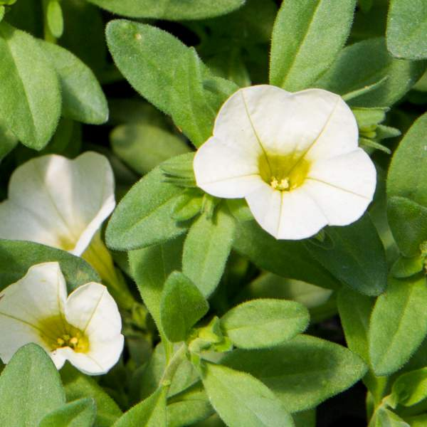 Image Of Calibrachoa Cream