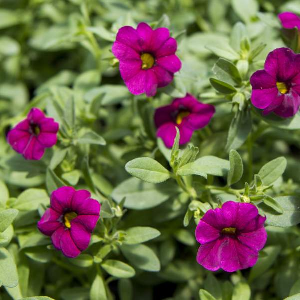 Calibrachoa Fuchsia - Unrooted Cuttings